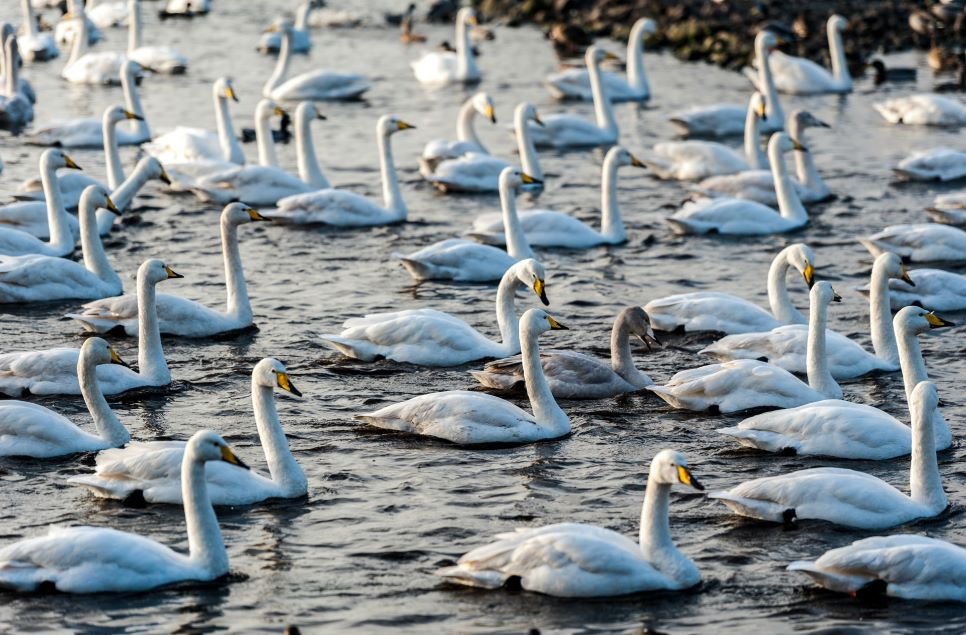 International Swan Census: January 2020