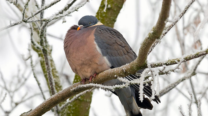 Wood pigeon in winter