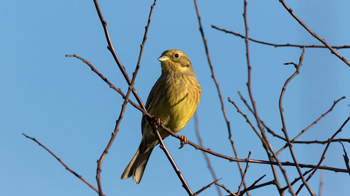 Yellowhammer - 37 were spotted in and around restored ponds, whilst just two were spotted at unrestored ponds