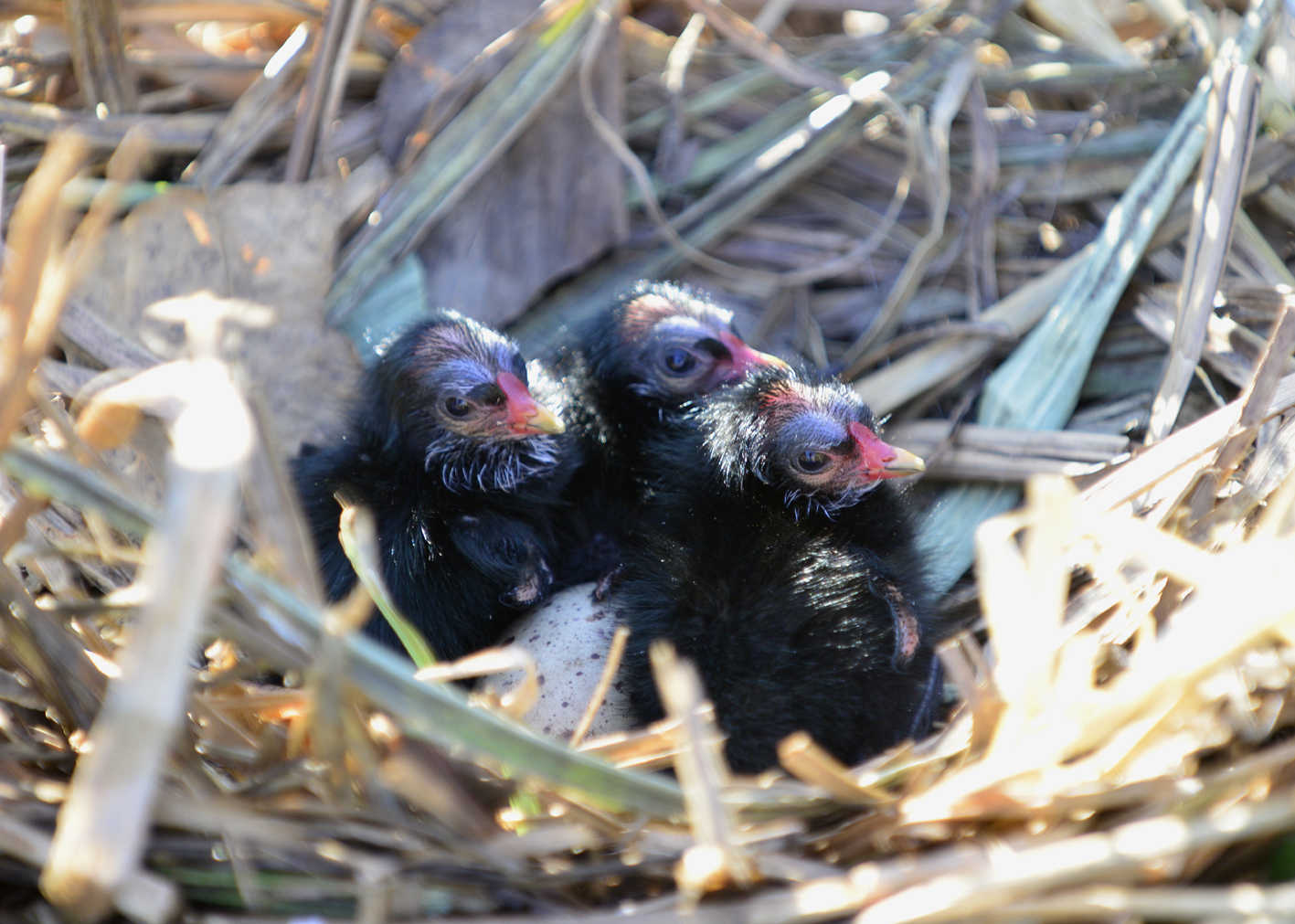 Moorhen chicks a sign of spring