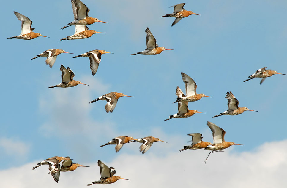Welcome home! Black-tailed godwits return to WWT Welney