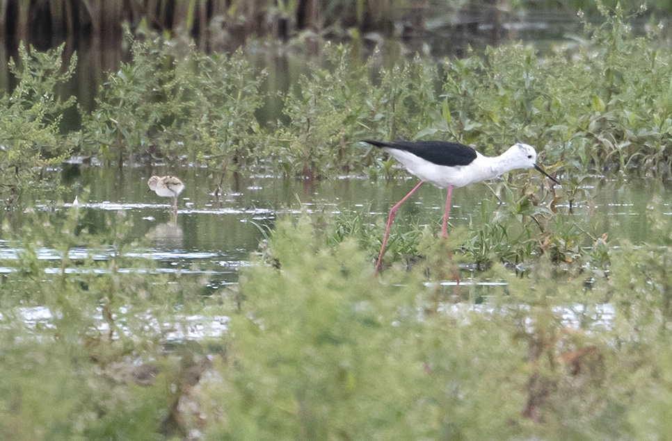 Black-winged stilts breed at Steart Marshes