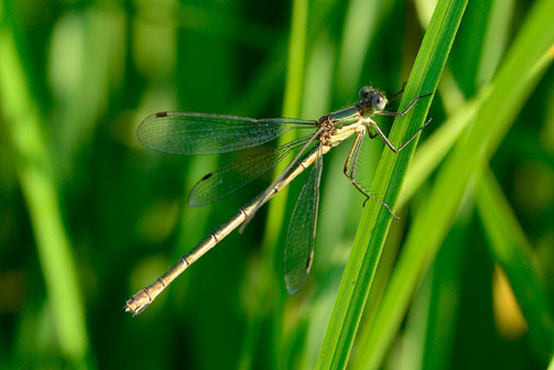 Emerald damselfly during dormouse survey