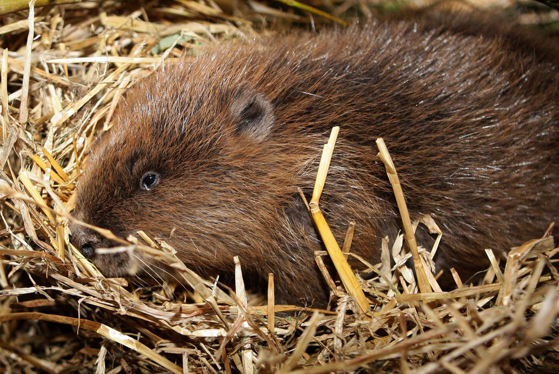 WWT joins coalition calling for long-term plan for England's beavers