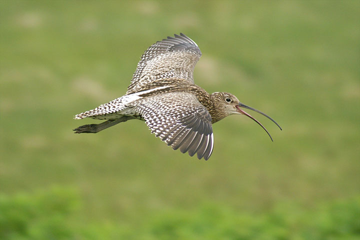 Eurasian curlew recovery