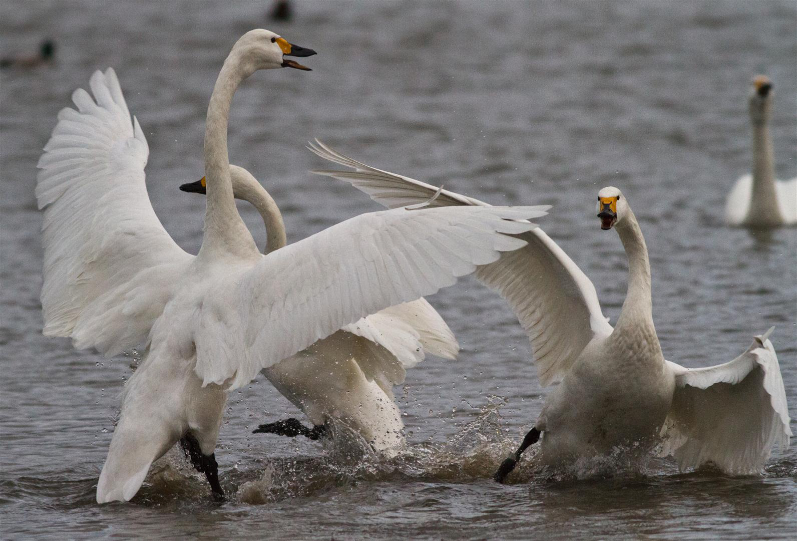Swans reserve aggression for each other, new research has found