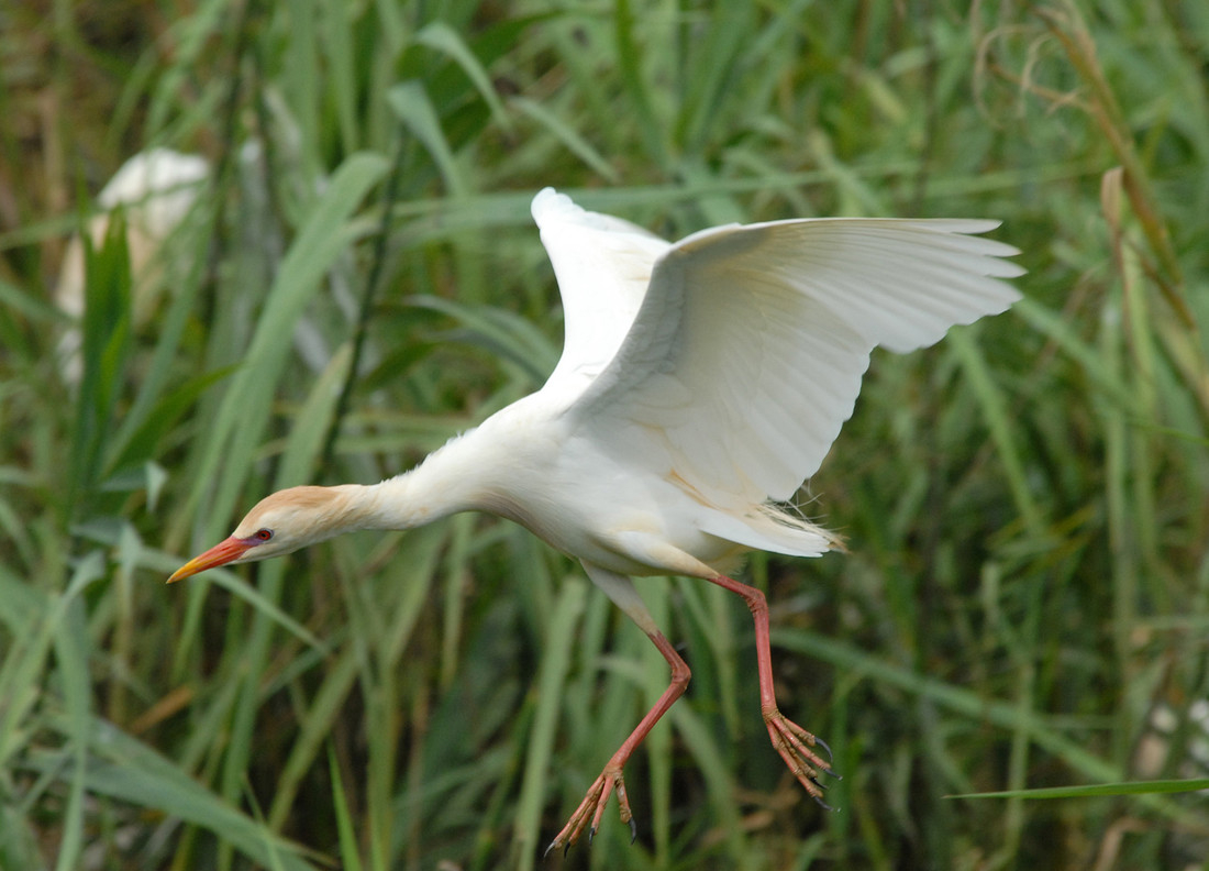First ever sighting of Cattle Egret recorded at Castle Espie Wetland Centre