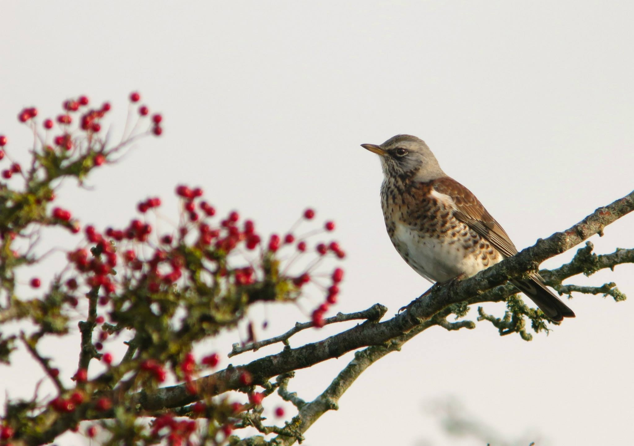 Thrushes galore