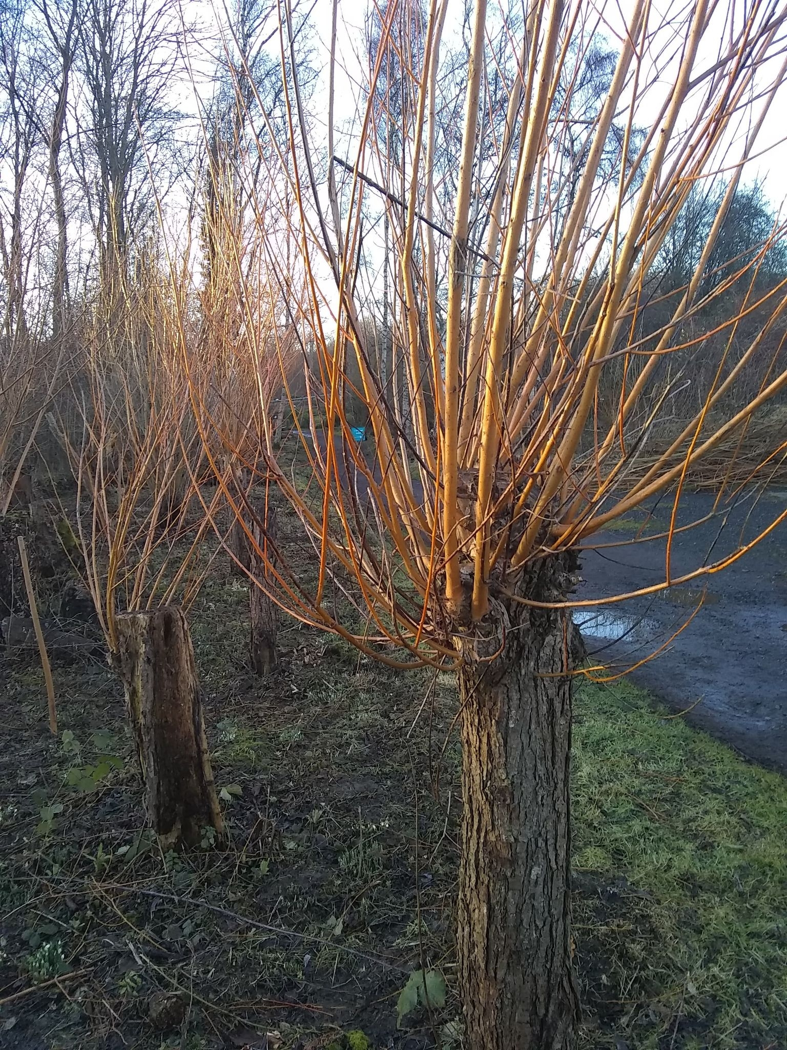 Coppicing and pollarding on the reserve