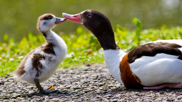 shelduck_family_717x403.jpg